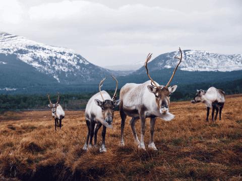 deer on tundra